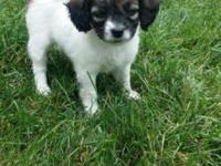 Quality Jack Russell Terrier Puppy! Female with Short