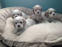 I have 4 adorable Cocker Spaniel Puppies that are ready