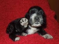 Akc registered black girl with white markings. This