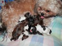 I had a beautiful litter of shih tzu puppies born on