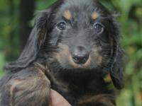 Wire Haired Mini Dachshund | For Sale In Wyoming New York 14591 Classifieds Buy And Sell