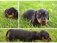 We have two adorable black and tan Miniature Dachshunds