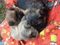 Super cute and so sweet Shih Tzu puppies. Accepting