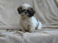 Cute & Cuddly New Year's Darlings. Shih Tzu puppies