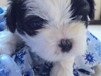 Three males and two female Shih Tzu young puppies. Born