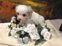 LOVELY AS A BUTTON MORKIEPOO GIRL DOG(MOMMY IS MALTESE