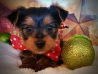 Little Yorkies,Black and tan,Great little Christmas