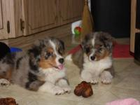 3 Gorgeous mini aussie pups available! 2 girls and 1