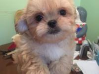 4 cute fluffy non shed poodle Pekingese mix puppies