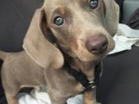Purebreed Dachshund Puppy 12 weeks Isabela color $1,200
