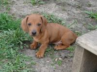 4 purebred dachshund new puppies, born March 30, 2014.