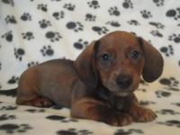 Have 2 dachshund puppies for sale. We have 1 male Jax