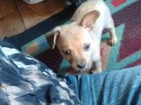 I have two deer head chihuahua puppies born August 1st,