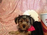 I have 1 Morkie puppy left from a litter of 6! 1 Female