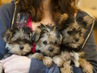 Gorgeous Teacup Morkies now ready to go to their