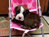 Breed-Boxer Male Has shots and wormed 8Weeks Tails been