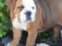 We have 1 female English Bulldog Puppies. She is 13