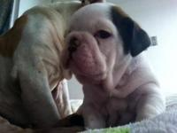 English bulldog dog change for female yorkie,
