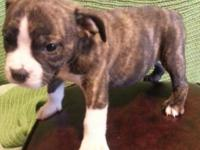 2 Males and 1 Girl English Bulldog new puppies for