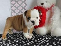 Our English Bulldog puppies are 10 weeks old and AKC