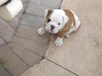 akc registered English bulldog's puppies for sale. they