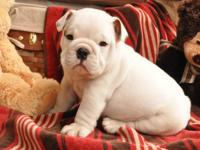 Beautiful english bulldog female and male puppy avail.