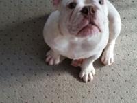 Born 10/10/14 pure breed English Bulldog puppy. Shots