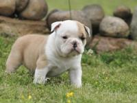 English Bulldog is a magnificent breed. An English