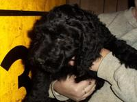 We have 1, F1B AussieDoodle, male, born Aug. 20th and