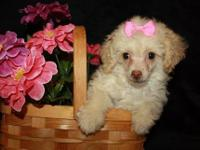 We have a cute little female Toy Poodle available. She