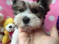 She is a playful female biewer Yorkie, has the best