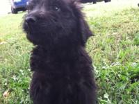 Bailee is a cute black Golden Doodle. She a bit of