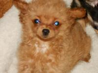 This cute little female ChiPoo looking for a home. Mom