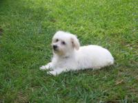 Cute white little female Havachon (Bichon