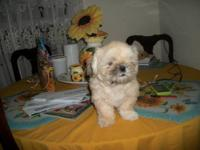 I have a female Imperial Shih tzu , Looking for her