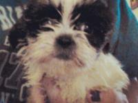 1 Female Shih Tzu ready on 9/30/15 Shots are done along