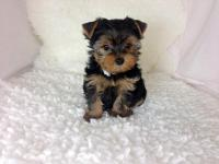Beautiful little female yorkie... AKC registered...4