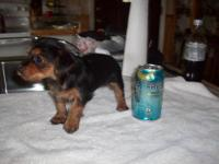 Beautiful CKC black tan yorkie with some white markings