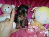 She is a wonderful female Yorkie. Well tempered and
