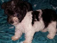 Cute black/white Yorkiepoo waiting for my new forever