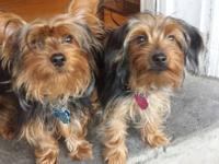 two tiny female Yorkshire terrier grew up in a home