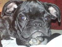 Lovely, adorable frug (frenchie/pug) seeking a