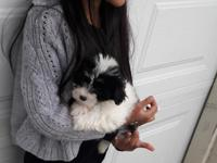 Our family has one female Maltese Yorkie mixed puppy,