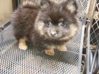 Cute & Fluffy Pomeranian Mix puppy born on April 21,