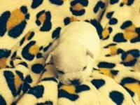 Cute little French male Bulldog, AKC registered. He