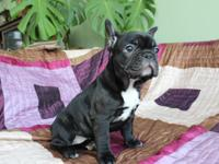 Cute French  Bulldog puppies ready for their new