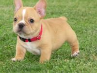 I have cute and lovely French Bulldog puppies for sale
