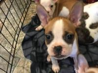 Ten week old adorable French Bulldog X Boston Terrier