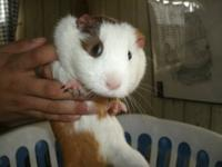Hi there here is Buzz she is a smooth haired guinea