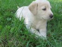 We have six cute, friendly labradoodle puppies on our